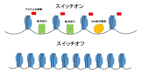 ヒトの細胞において、ヒストンH4...