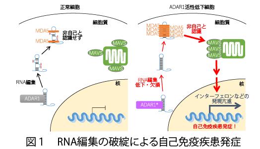 RESEARCH   大阪大学大学院医学系研究科 神経遺伝子学